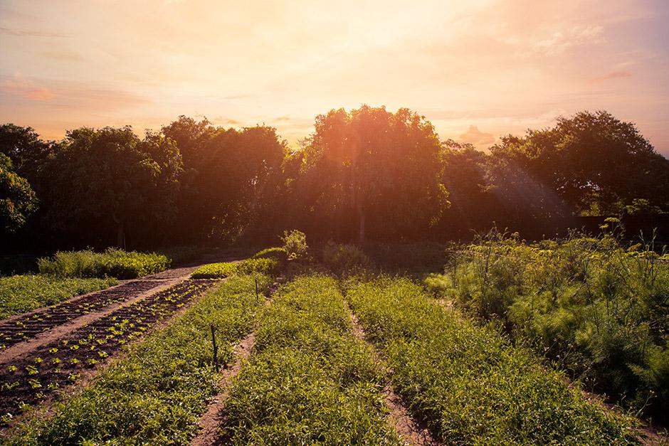 Fotografia de uma paisagem de um campo de cultivo de plantas e, ao fundo, árvores à luz intensa do sol.